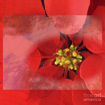 Photograph - Christmas Flower by Ella Kaye Dickey