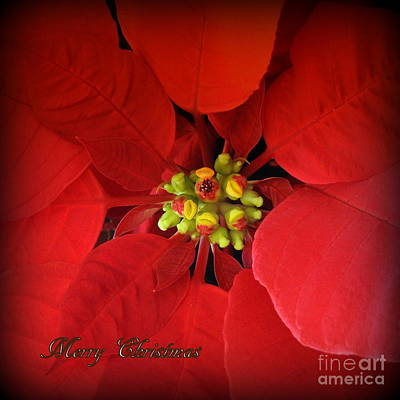 Photograph - Christmas Flower Holiday Greeting Card by Ella Kaye Dickey