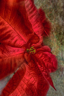 Photograph - Christmas Flower by Judy Hall-Folde