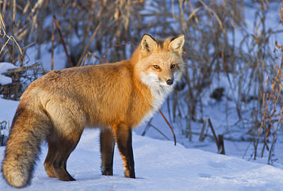 Christmas Fox Art Print by Mircea Costina Photography
