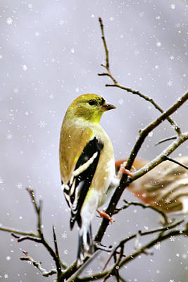 Mixed Media - Christmas Goldfinch by Christina Rollo