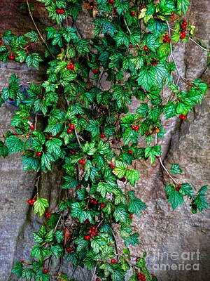 Photograph - Christmas Ivy by Judi Bagwell