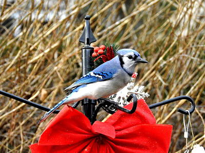 Photograph - Christmas Jay by Betty-Anne McDonald