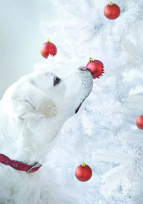 Photograph - Christmas Lab by Diane Diederich