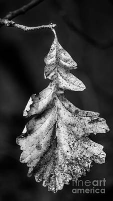 Photograph - Christmas Oak Black And White by Michael Arend
