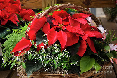Photograph - Christmas Poinsettia Basket by Jill Lang