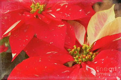 Photograph - Christmas Poinsettias by Teresa Wilson