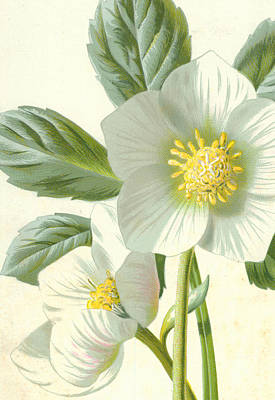 Botanical Drawing - Christmas Rose by Frederick Edward Hulme