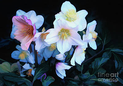 Christmas Rose Art Print