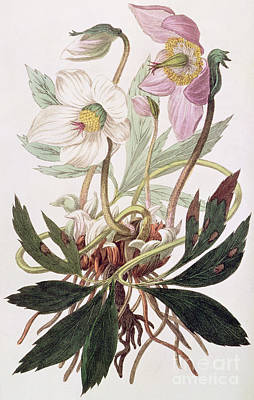 Botanical Drawing - Christmas Rose by William Clark