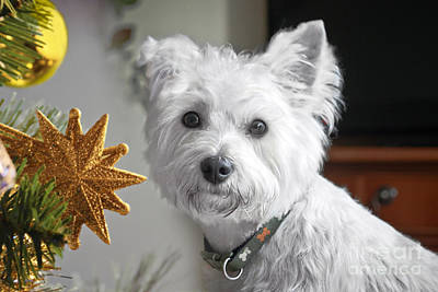 Photograph - Christmas Star Puppy by Terri Waters