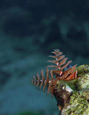 Christmas Tree Worm Lookout Art Print by Jean Noren