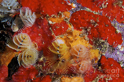 Undersea Photograph - Christmas Tree Worms, Bonaire by Terry Moore