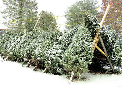 Photograph - Christmas Trees  by Janice Drew