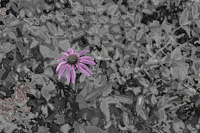 Photograph - Chrome Purple Susan Flower by Sharon Popek