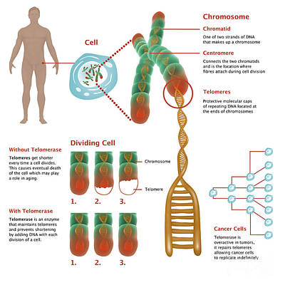 Chromosomes & Telomerase, Illustration Art Print