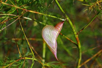 Photograph - Chrysalis by Kathryn Meyer