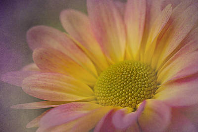 Photograph - Chrysanthemum 3 by Morgan Wright