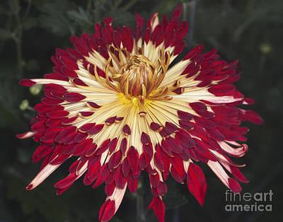 Photograph - Chrysanthemum 'alabama' by Ann Jacobson
