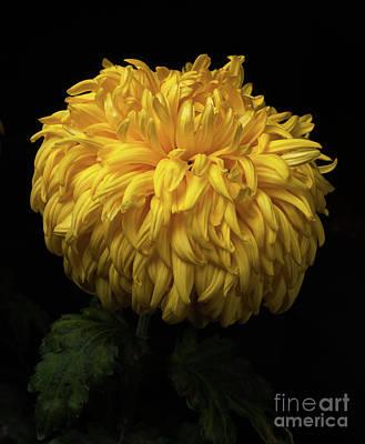 Photograph - Chrysanthemum 'allison Peace' by Ann Jacobson