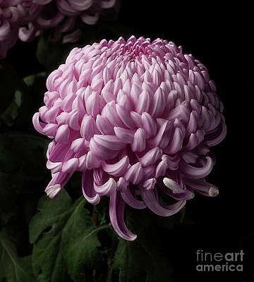 Photograph - Chrysanthemum  by Ann Jacobson