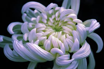 Mums Digital Art - Chrysanthemum At Dawn by Jessica Jenney