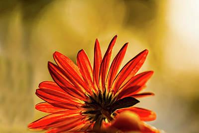 Photograph - Chrysanthemum Bokeh  by Kay Brewer