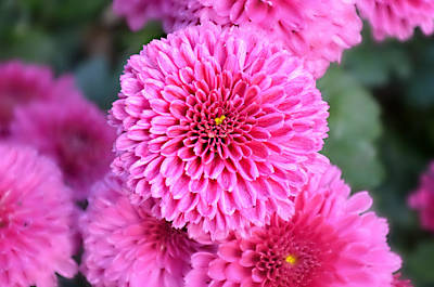 Ally Photograph - Chrysanthemum Close Up by Ally  White