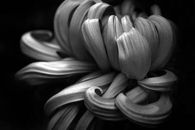 Abstract Flowers Digital Art - Chrysanthemum Curls Monochrome by Jessica Jenney