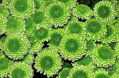 Chrysanthemum Green Button Pompon Kermit Art Print by Kaye Menner