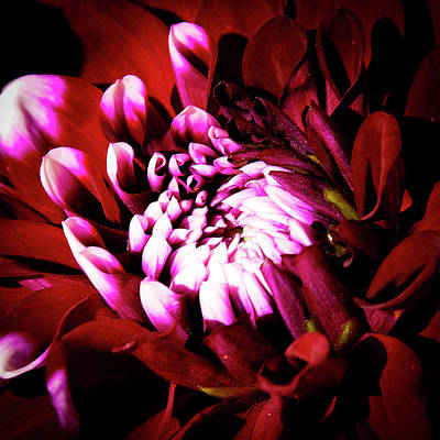 Mum Photograph - Chrysanthemum In Bloom by David Patterson