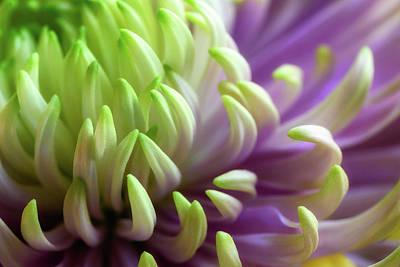 Photograph - Chrysanthemum by James Barber