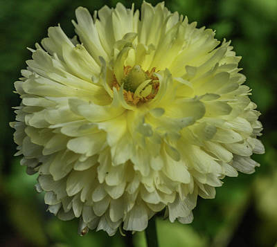 Photograph - Chrysanthemum by Jane Luxton