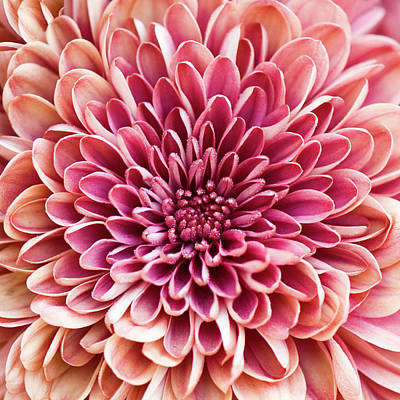 Pink Flower Photograph - Chrysanthemum by Jody Trappe Photography