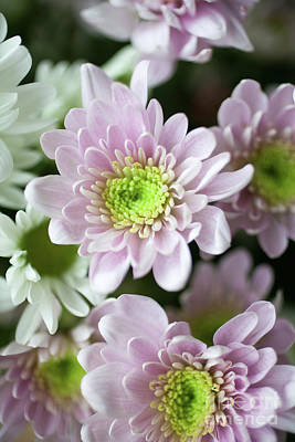 Photograph - Chrysanthemum by Kati Molin