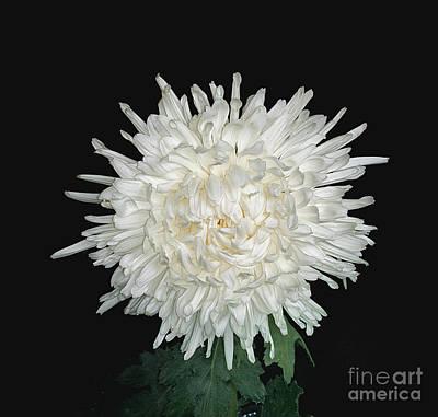 Photograph - Chrysanthemum 'lone Star' by Ann Jacobson