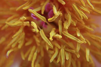 Chrysanthemum Macro Print by M Valeriano