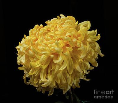 Photograph - Chrysanthemum 'mckinley' by Ann Jacobson
