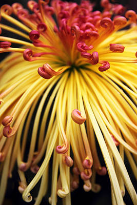 Photograph - Chrysanthemum Morning by Jessica Jenney