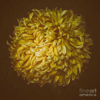 Photograph - Chrysanthemum 'mt Mcginley' by Ann Jacobson