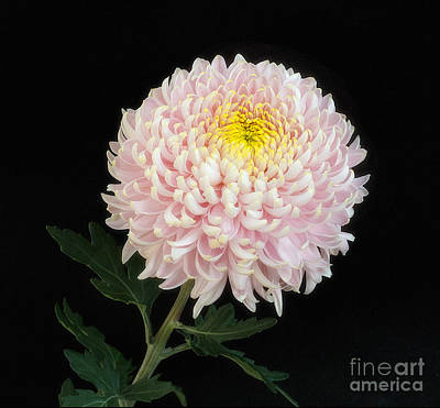 Photograph - Chrysanthemum 'otome Pink' by Ann Jacobson