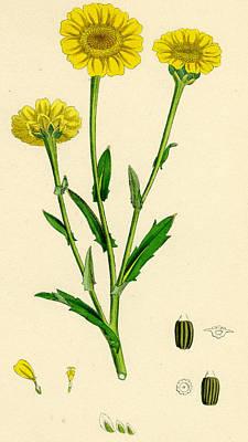 Corn Drawing - Chrysanthemum Segetum Corn Marigold by Unknown