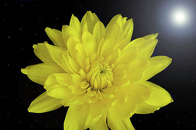 Photograph - Chrysanthemum Star by Terence Davis