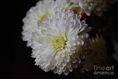 Photograph - Chrysanthemum Study by Patti Whitten