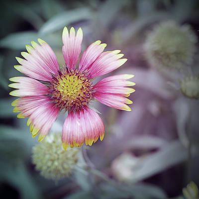 Photograph - Chrysanthemum by Tran Minh Quan