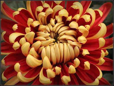 Chrysanthemum In Full Bloom Art Print