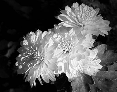 Photograph - Chrysanthemums In Black And White by Sheila Brown