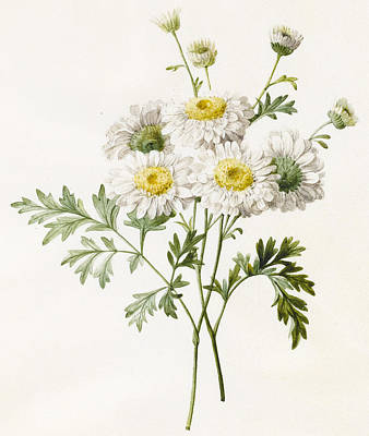 Daisies Drawing - Chrysanthemums by Louise D'Orleans