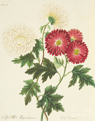 Flora Drawing - Chrysanthemums by Margaret Roscoe