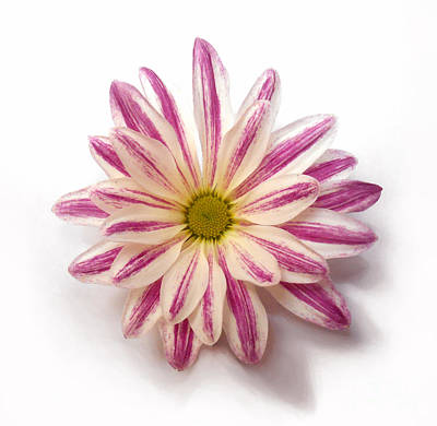 Photograph - Chrysanthemums Purple Stripes by Christopher Shellhammer